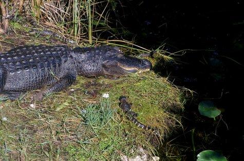 Krokodil in den Everglades
